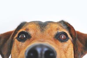 Øjenbetændelse hos hunde