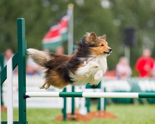 agility træning hund